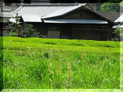 お茶畑.jpg